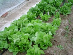 Lettuce in Field
