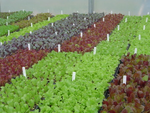 Herb And Flower Plants That Have Been Started In Our Greenhouse This Year Germination Results Excellent Pictured Are Red Cabbage