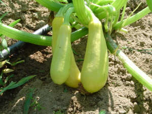 Fisrt Squash on the Vine