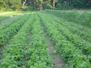Green Beans in Field